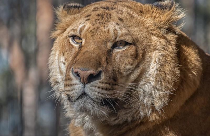Лигр и тигон: зачем скрещивают кошачьих?