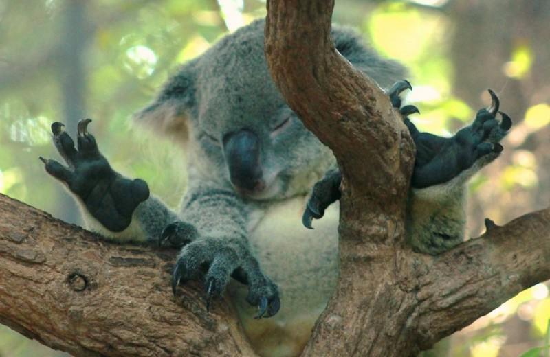Зачем коалам отпечатки пальцев как у людей?