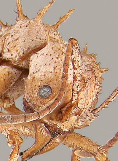 Муравьи из Центральной Америки обзавелись минеральной броней для защиты от врагов и патогенов