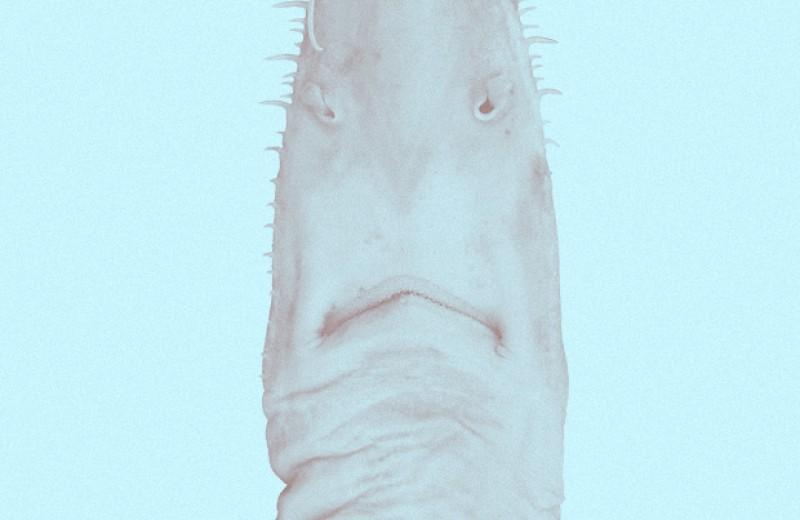 Ученые нашли два новых вида пилоносых акул