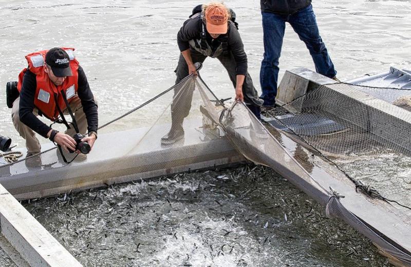 В США мальки лосося не могут добраться до океана. Их повезут туда на машинах