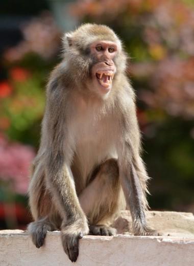 У обезьян обнаружили признаки понимания рекурсии