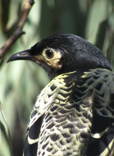 Вокал для пернатых: орнитологи учат птиц петь брачные песни