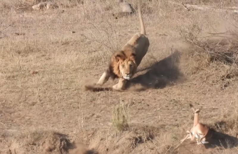Как лев сорвал львице удачную охоту: видео