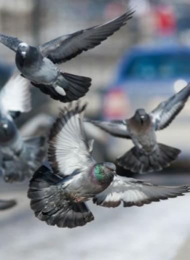 8 неожиданных фактов о голубях
