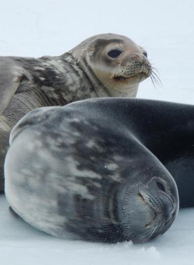 Тюлени умеют издавать ультразвук под водой: видео