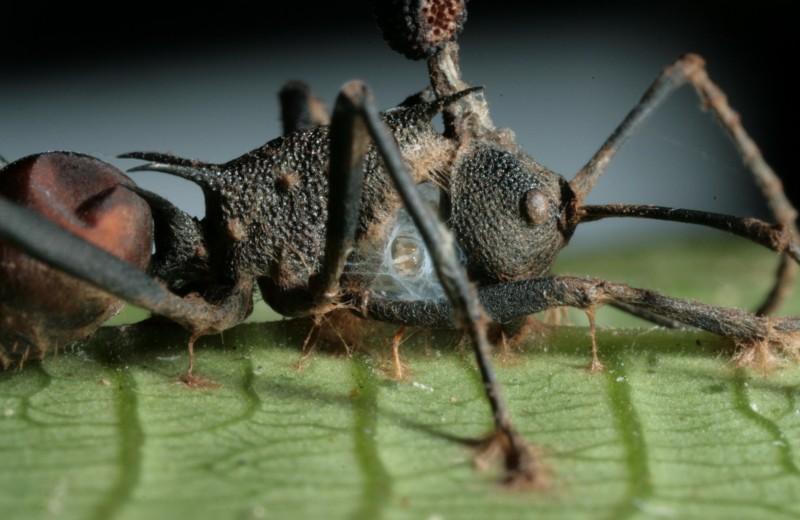 Зомбирующий гриб оказался куда опаснее, чем считали ученые: абсолютный паразит