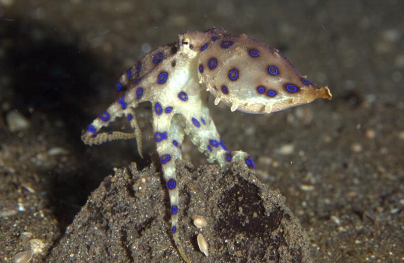Турист схватил красивого осьминога, но не знал, что тот смертельно ядовит