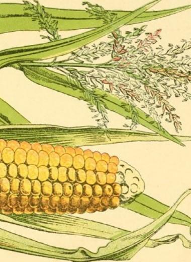Кукурузу начали массово употреблять в пищу через пять тысяч лет после одомашнивания