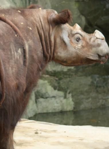 В Малайзии хотят клонировать суматранского носорога, который полностью исчез в стране