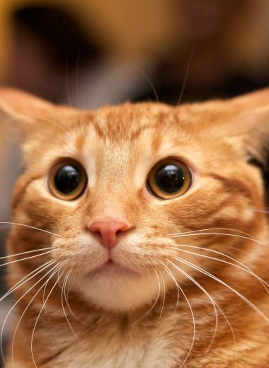Рыжие— бесстыжие: как цвет кота влияет на его характер?