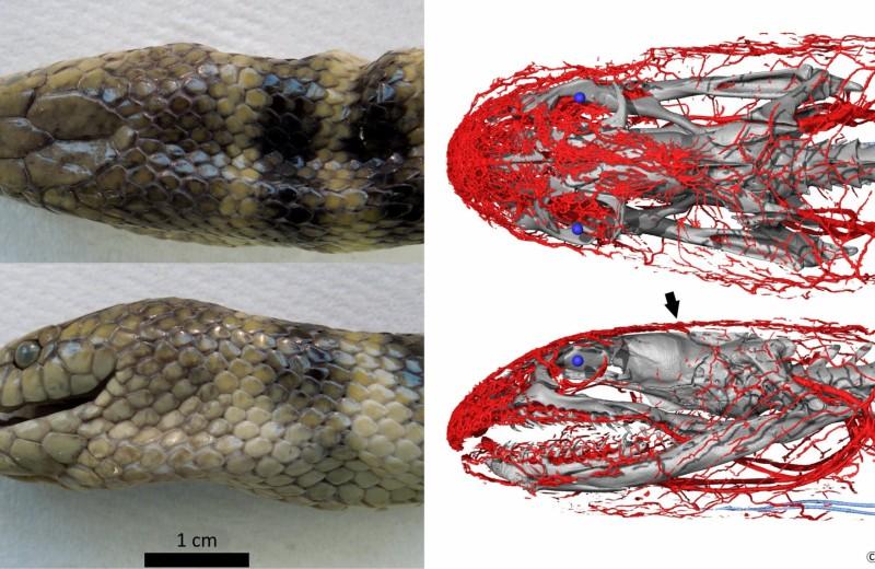 Секрет в голове: чем дышит морская змея?
