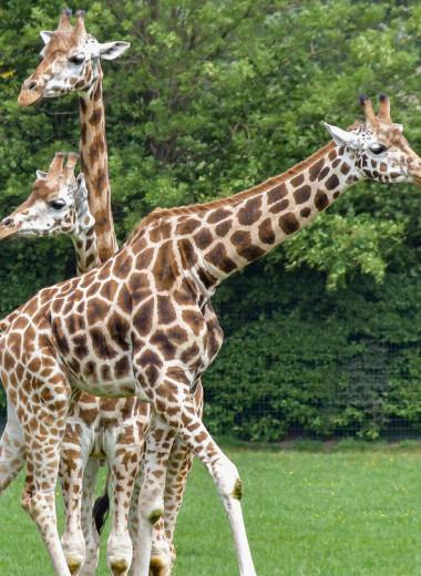 Британские ученые раскрыли тайну бабушек-жирафов