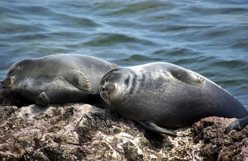 Байкальские нерпы оказались любителями планктона