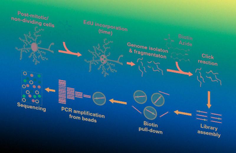 Нейроны восстановили ДНК в горячих точках