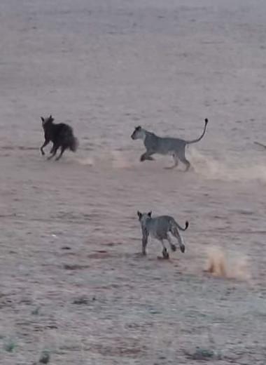 Львы устроили засаду на гиену: видео
