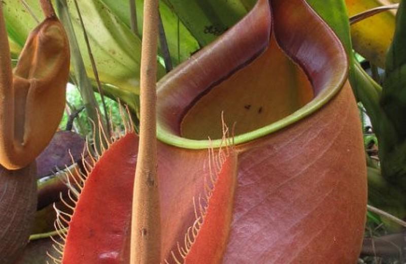 Муравьи с острова Калимантан купаются в пищеварительной жидкости растения-хищника