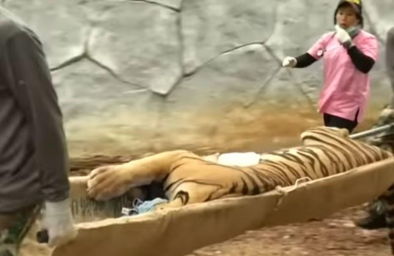 Больше половины тигров, спасенных из тайского монастыря, погибли