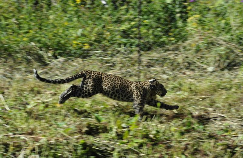 На Кавказе в дикую природу выпустили двух леопардов: фото и видео
