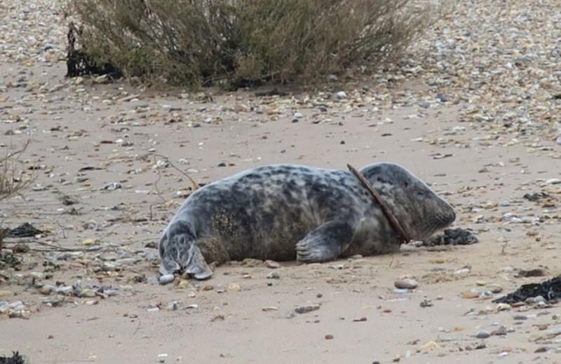 Тюлень освободился из пластиковой петли и снова учится плавать: видео