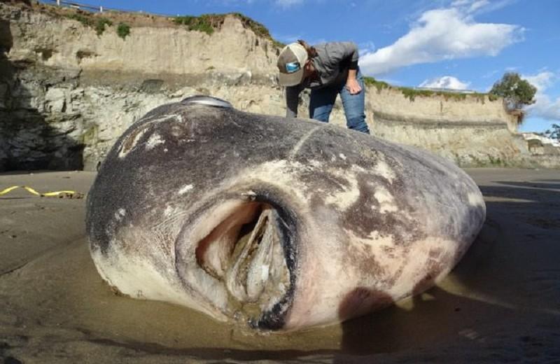 Огромная рыба-«oбманщик» найдена в США (и это сенсация)