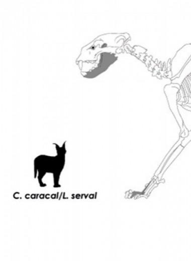 Древние южноафриканцы оказались ценителями шкур ночных кошек-одиночек