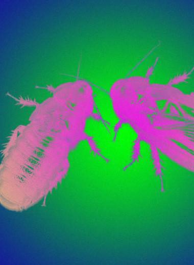 Японцы понаблюдали за объедающими друг другу крылья самками и самцами азиатского таракана