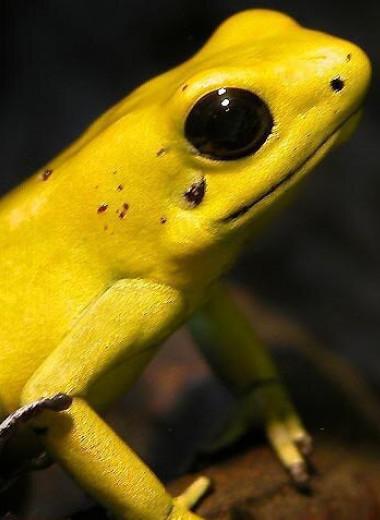 Почему ядовитые лягушки не отравляют сами себя