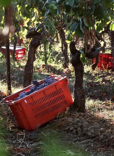 Черное сокровище Сицилии: виноград, который подойдет для Крыма и Северного Кавказа