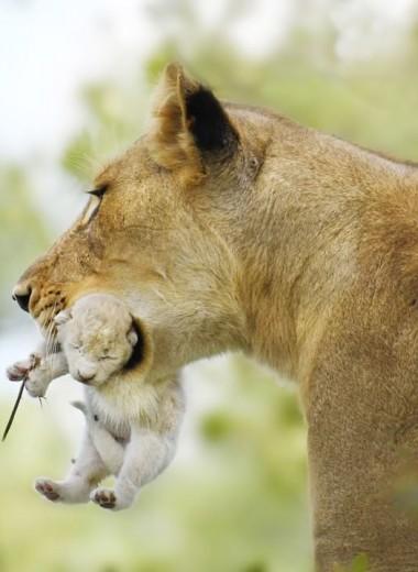 Удивительный кадр: в ЮАР сфотографировали белого львенка
