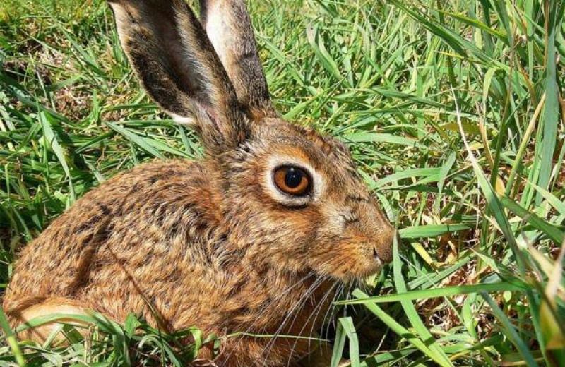 Откуда уши растут: древние китайцы «дружили» с зайцами