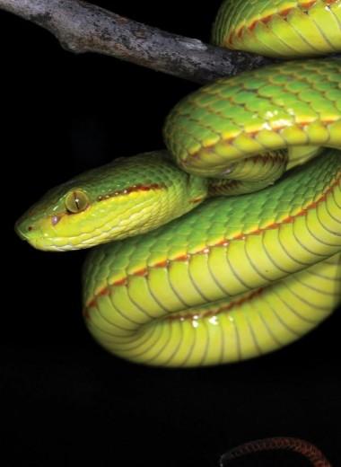 Новый вид ядовитых змей назвали в честь Салазара Слизерина
