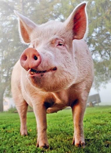 Восставший из мертвых: как свинью превратили в Франкенштейна