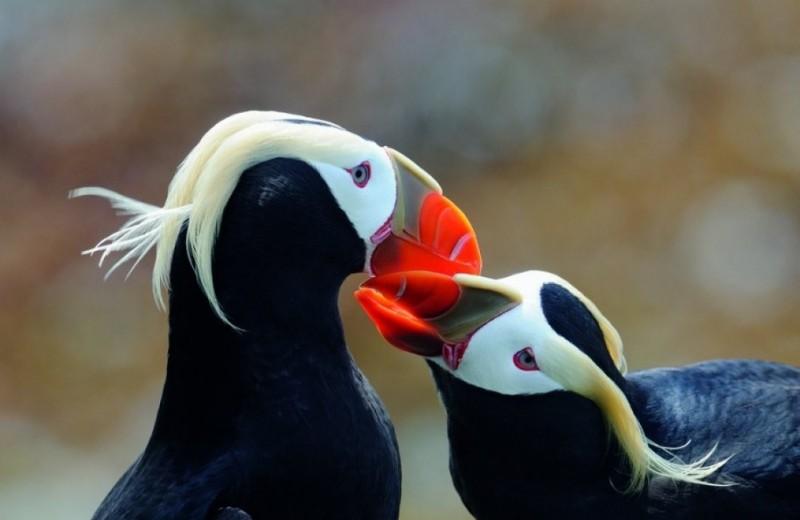 Топорки: русские пингвины