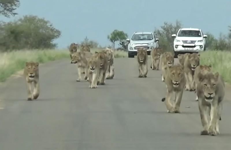 Туристам встретился огромный львиный прайд: видео