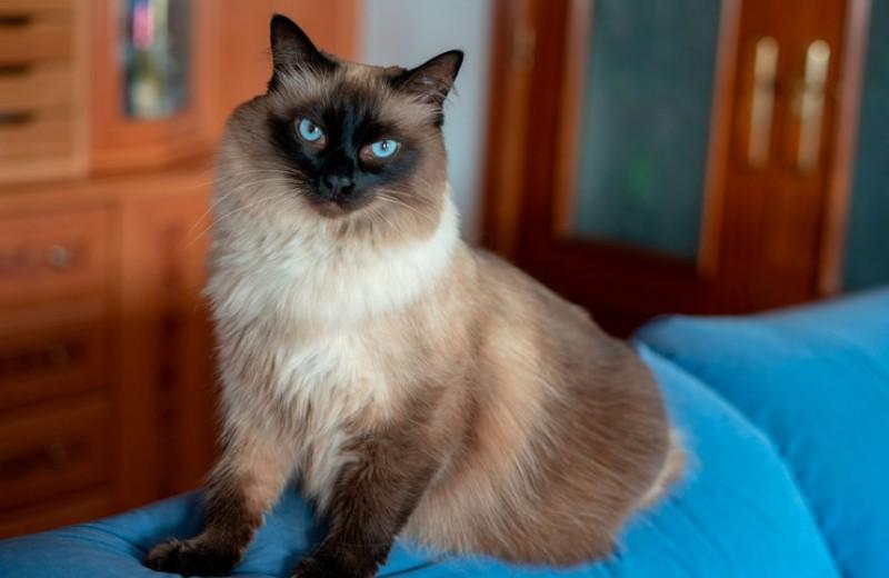 7 пород кошек для людей с аллергией на шерсть