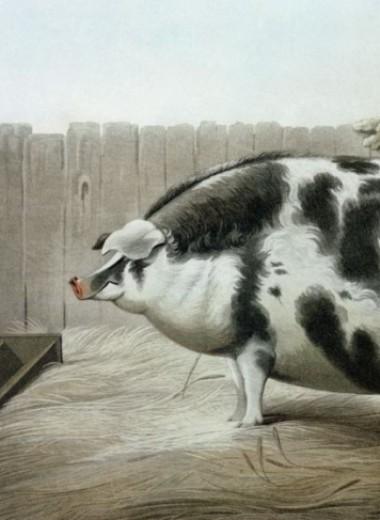 Почему в XIX веке фермеры заказывали парадные портреты своих толстых коров, свиней и овец