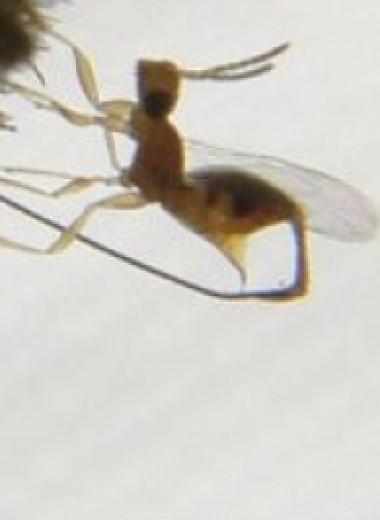 Необычные отношения смоковницы и насекомых-опылителей