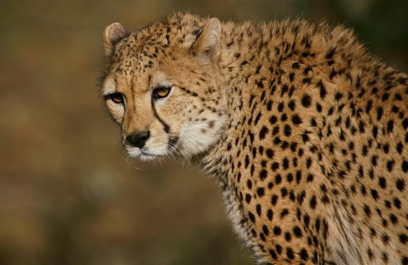 Редчайшего гепарда заметили в Алжире впервые за десятилетие