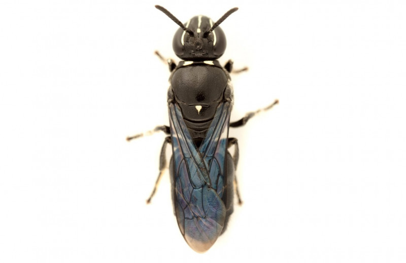 «Пропавшую» австралийскую пчелу нашли спустя 100 лет с момента последнего наблюдения