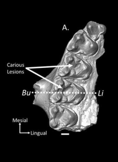 Палеонтологи диагностировали кариес у приматов возрастом 54 миллиона лет