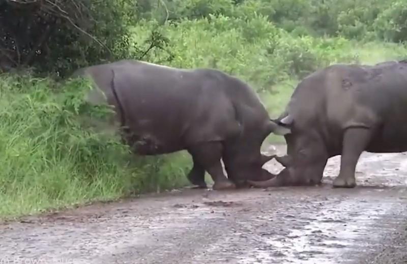 «Уступи мне дорогу»: как носороги выясняют отношения