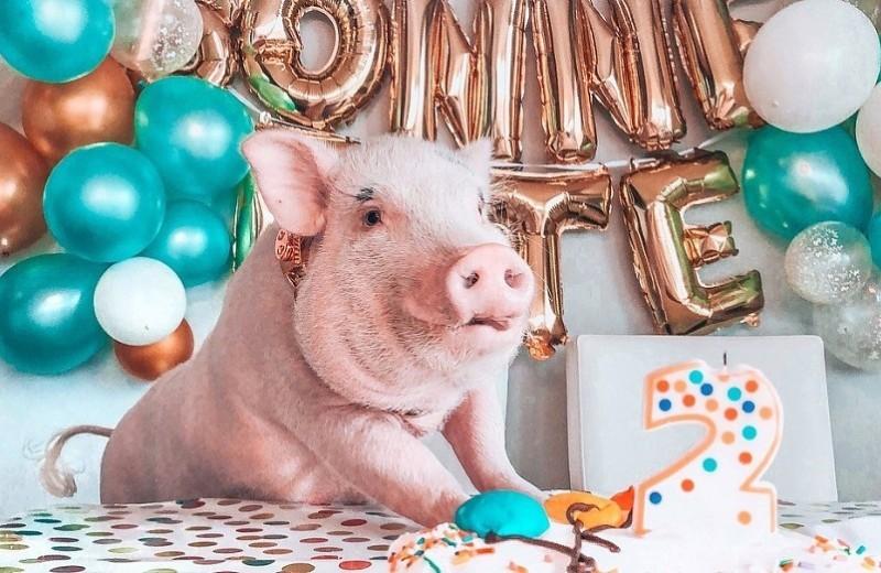 10 неожиданных причин завести свинью