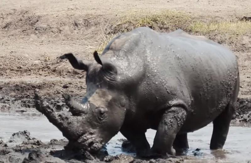 Черный носорог барахтается в грязи: видео