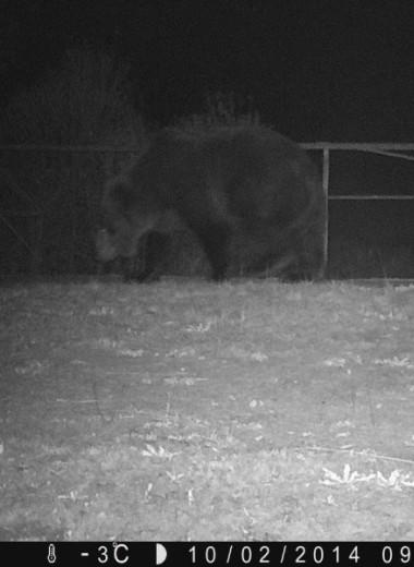 Как бурые медведи вернулись в Чернобыль: фото