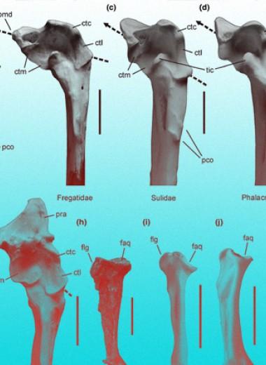Гигантским древним пингвинам нашли костных двойников на севере Тихого океана