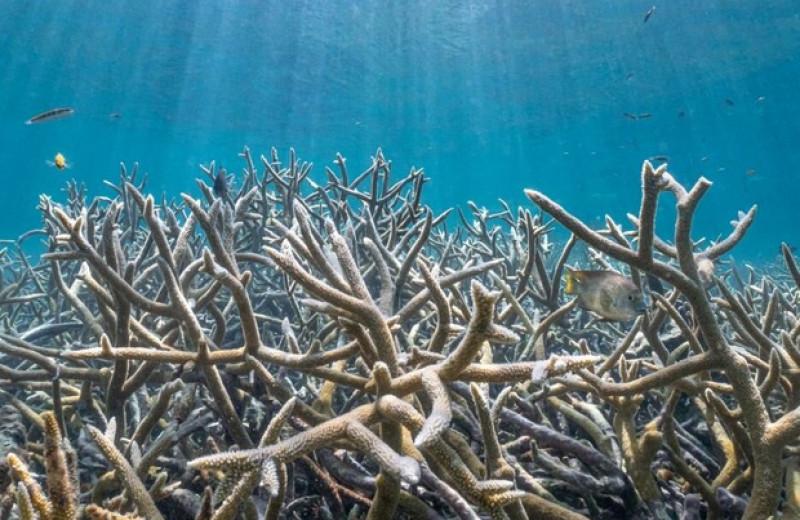 Рифы у побережья Белиза оказались убежищем для акропоровых кораллов