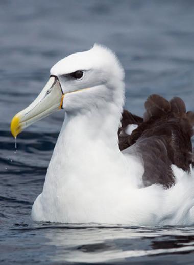 Пластик в океане назвали смертельной угрозой для альбатросов Южного полушария