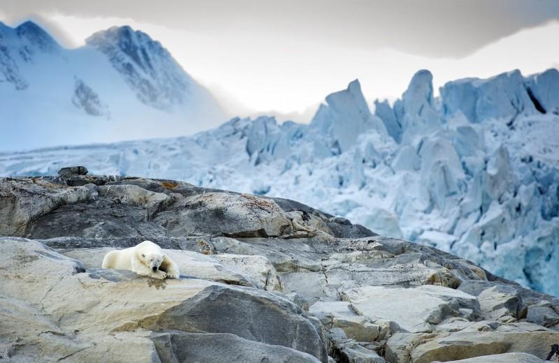 Белые медведи могут полностью исчезнуть к 2100 году из-за изменения климата
