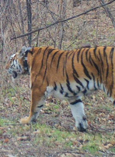 Встретив в лесу тигра, люди накормили его колбасой: видео